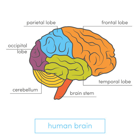 occipital: Profile view of a human brain. Cartoon vector illustration for medical atlas or educational textbook.