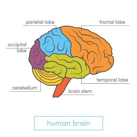 sicologia: Vista de perfil de un cerebro humano. Ilustración vectorial de dibujos animados de atlas médicos o de libros de texto de educación.