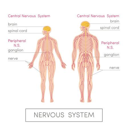 sistemas: El sistema nervioso de un ser humano. Ilustración vectorial de dibujos animados de atlas médicos o de libros de texto de educación. Fisiología masculina y femenina.