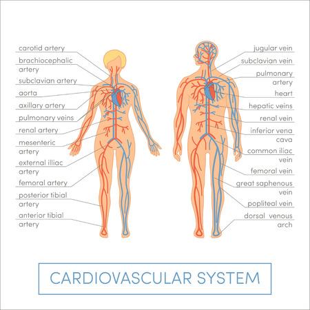 Herzkreislaufsystem eines Menschen. Cartoon Vektor-Illustration für medizinische Atlas oder Bildungslehrbuch. Männliche und weibliche Physiologie.
