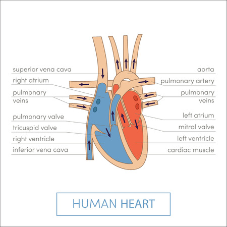 tricuspid valve: The human heart anatomy. Cartoon vector illustration for medical atlas or educational textbook. Cross-section Stock Photo