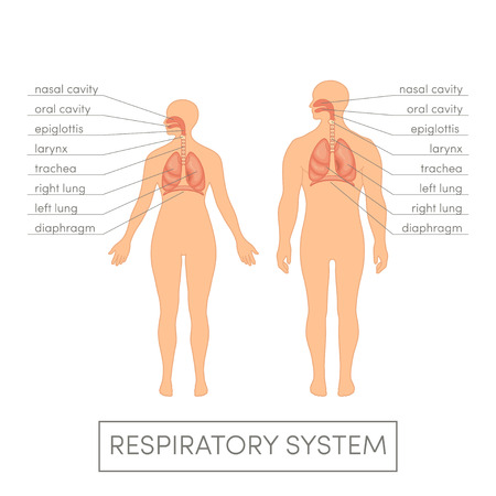 physiology: Respiratory system of a human. Cartoon illustration for medical atlas or educational textbook. Male and female physiology.