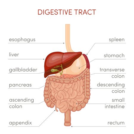 The digestive tract of a human. Cartoon illustration for medical atlas or educational textbook.