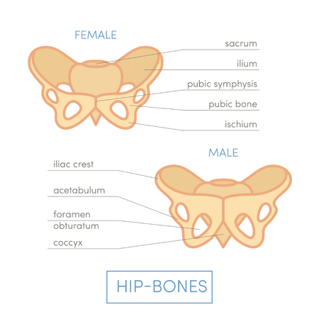 acetabulum: Human hip-bones. Male and female type pelvis. Cartoon illustration for medical atlas or educational textbook. Stock Photo