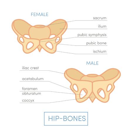lower limb: Human hip-bones. Male and female type pelvis. Cartoon illustration for medical atlas or educational textbook. Stock Photo