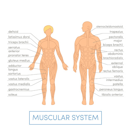 physiology: Muscular system of a human. Cartoon illustration for medical atlas or educational textbook. Male and female physiology.
