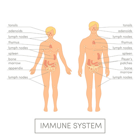 Immune system of a human. Cartoon illustration for medical atlas or educational textbook. Male and female physiology. 스톡 콘텐츠