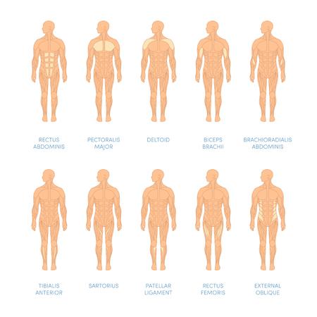 人間の筋肉のシステム。アトラスの医療や教育の教科書の漫画イラスト。