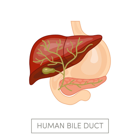 Gallbladder duct of a human surrounded intestines. Cartoon vector illustration for medical atlas or educational textbook.