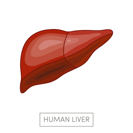 bile: Human liver. Simple cartoon flat vector illustration.