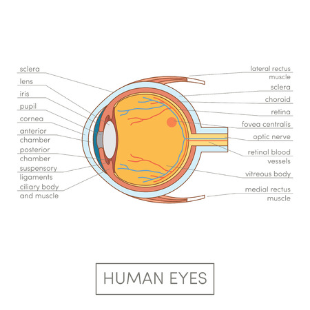 vitreous: Human eye anatomy. Cartoon simple vector illustration for medical atlas or educational textbook. Cross-section of an eyes. Stock Photo