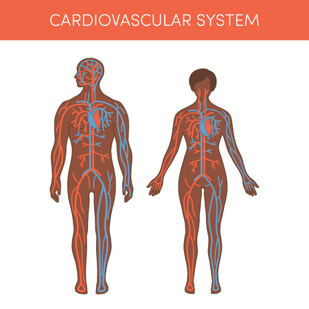 human blood circulation: Cardiovascular system of a human. Cartoon vector illustration for medical atlas or educational textbook. Physiology of a black male and female.