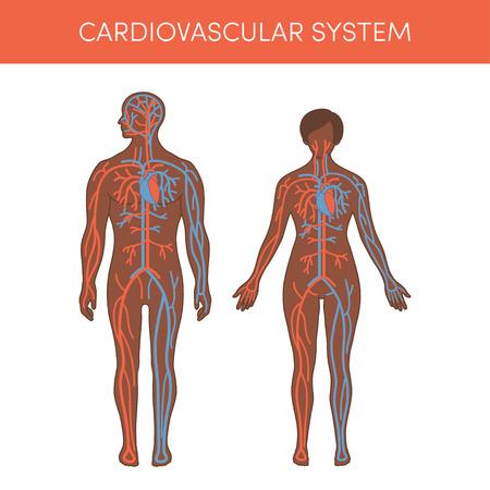 medico caricatura: Sistema cardiovascular de un humano. ilustración vectorial de dibujos animados para Atlas médicos o de libros de texto de educación. Fisiología de un macho negro y hembra. Vectores