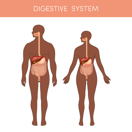 black male: The digestive system of a human. Cartoon vector illustration for medical atlas or educational textbook. Physiology of a black male and female.