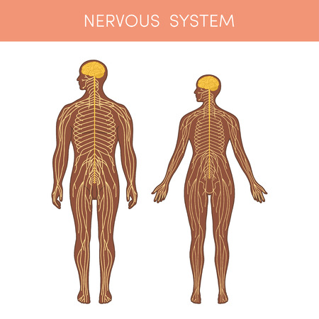 peripheral nerve: The nervous system of a human. Cartoon vector illustration for medical atlas or educational textbook. Physiology of a black male and female.