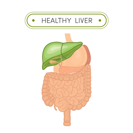 digestive tract: Cartoon illustration of digestive tract with healthy liver. Green liver symbolizing health
