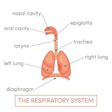 pharynx: The respiratory system of a human. Cartoon vector illustration of a caucasian man