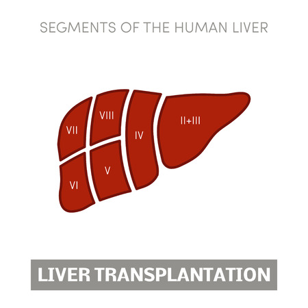 Liver transplantation concept: dividing into segments