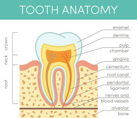 dentin: Human tooth anatomy. Vector diagram of healthy molar Illustration