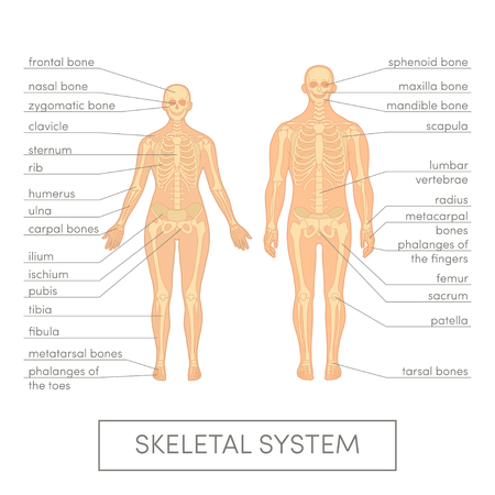 Skeletal system of a human