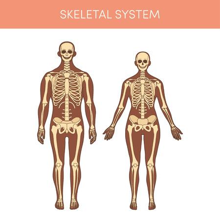 Sistema scheletrico di un essere umano Archivio Fotografico - 93467182