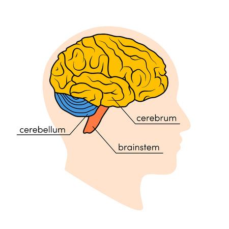 Vue de profil d'un cerveau humain. Parties du cerveau humain peintes de différentes couleurs, illustration vectorielle Vecteurs