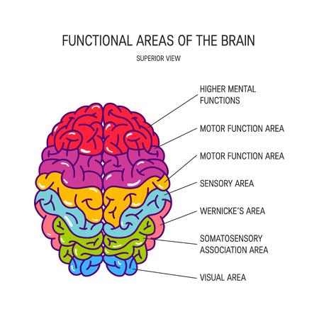 Áreas funcionales del cerebro, ilustración vectorial