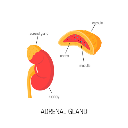 Kidney and adrenal gland (including cross section of it). Vector diagram in flat style. Medical illustration of endocrine organs