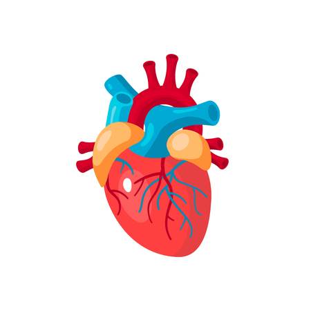 Human heart concept. Vector illustration for medical atlas, articles, educational textbook etc. in flat style. Illustration