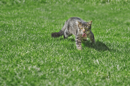 catfood: Cat of the piece of meat on green grass cat hunting pets