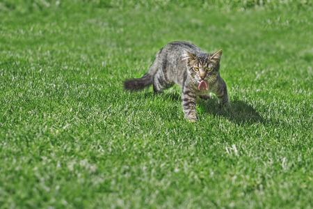 catfood: Gatto del pezzo di carne su erba verde caccia gatto animali domestici
