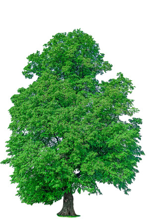 old linden tree with green leaves isolate green flora