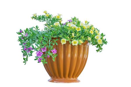 植木鉢白で隔離背景の美しい花 写真素材