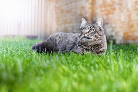 gaze: home gray cat lying on green grass looking calm gaze up