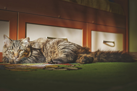 lazybones: the cat is in the room and looks in the face of