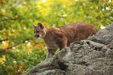Puma concolor. Autumn in Czech nature. Animal on rock. Colorful autumn. Beautiful colors. America. Puma concolor, known as the mountain lion, panther, in green vegetation, Mexico. Wildlife scene from