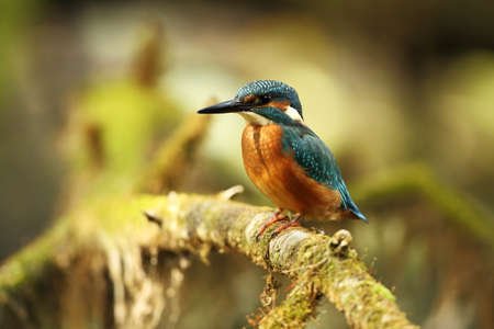 Alcedo atthis. It occurs throughout Europe. Looking for slow-flowing rivers. And clean water. The wild nature of Europe. Free nature. Photographed in the Czech Republic. Beautiful nature photos. A rar Reklamní fotografie