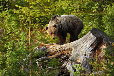 Ursus arctos. Brown bear. The photo was taken in Slovakia. The brown bear is found throughout Europe. Beautiful bear image. Nature of Slovakia. Wild nature. Free nature. From the life of the bears. On