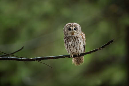 Strix aluco. Wild nature. Beautiful owl photo. Autumn nature of Czech. Beautiful colors in the photo. Bird on the photo. A rare bird.He lives in Europe, except for northern areas. Owl in the snowy for