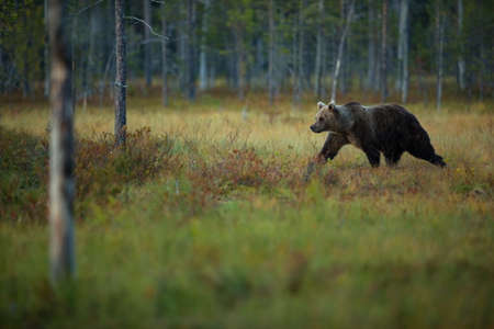 Ursus arctos. The brown bear is the largest predator in Europe. He lives in Europe, Asia and North America. Wildlife of Finland. Photographed in Finland-Karelia. Beautiful picture. From the life of th Stock fotó