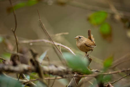 Troglodytes troglodytes. Wild nature. From the life of birds. Beautiful picture. Nature of the Czech Republic. Bird in the forest.