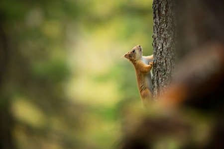 Squirrel. The squirrel was photographed in the Finland. Squirrel is a medium-sized rodent. Inhabiting a wide territory ranging from Western Europe to Eastern Asia. Free nature. Beautiful picture. The