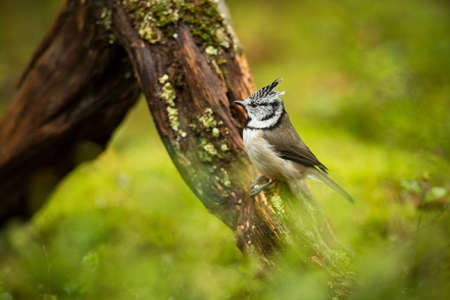 Lophophanes cristatus. Nature of Europe. Wild Scandinavian nature. Beautiful picture. From bird life. Color photograph. Finland. Karelia.