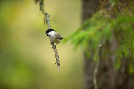 Poecile montanus. Wildlife of Finland. Beautiful picture. Karelia. From bird life. Free nature. Scandinavia. European nature. Little bird. Expanded throughout Europe.