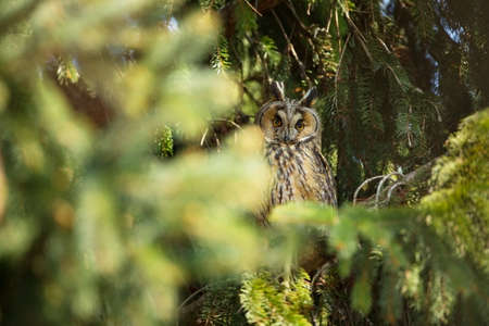 Asio otus. Expanded throughout Europe. Photographed in the Czech Republic. From Owl`s Life. Nature. Owl. Beautiful owl photo. Owl on the tree. Free nature. The wild nature of the Czech Republic. Long-