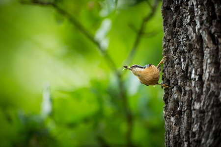 Eurasian Nuthatch, Sitta europaea, beautiful yellow and blue-gray songbird sitting on the branch, bird in the nature forest habitat, Czech Republic. Sitta europaea. He lives throughout Europe. Wild n