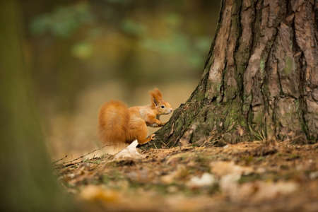 Squirrel. The squirrel was photographed in the Czech Republic. Squirrel is a medium-sized rodent. Inhabiting a wide territory ranging from Western Europe to Eastern Asia. Free nature. Beautiful pictur Reklamní fotografie