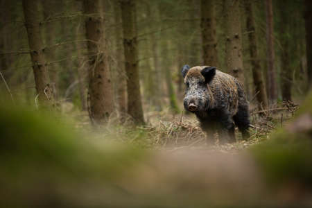 Your scrofa. The wild nature of the Czech Republic. Free nature. Picture of an animal in nature. Beautiful picture. Animal in the woods. Deep forest. Mysterious Forest. Wild. From animal life. Wild boa Banco de Imagens