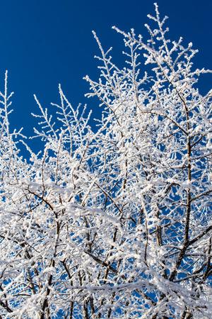 arbol alamo: álamo congelado