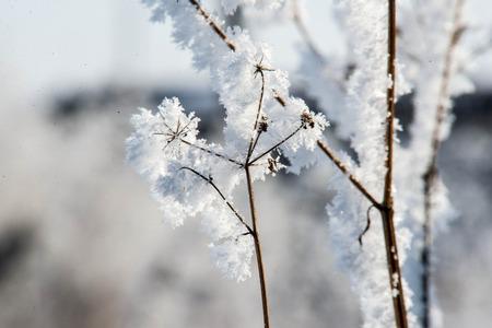 twigs: dry twigs in hoarfrost